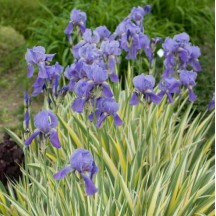 Iris Variegata