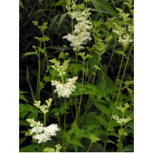 Filipendula Ulmaria