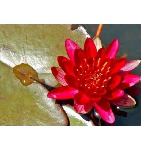 Nymphaea 'Laydekeri Purpurata' vandens lelija