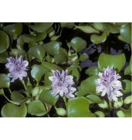 Vandeninis hiacintas